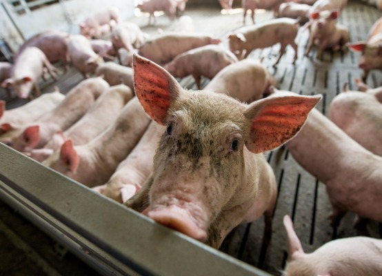 More pigs and less bovine animals slaughtered in 2018
