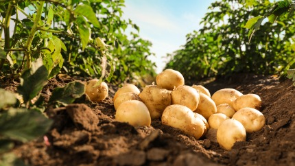 Potato production increases by 33,3 %