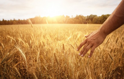 Prices of wheat and winter wheat decreasing