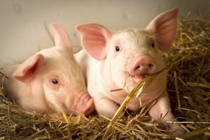 28.800.932 Tierschlachtungen im Oktober